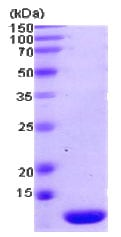 SDS-PAGE - Thioredoxin 2 protein (Human) (ab78845)