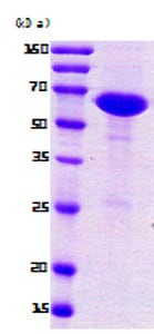 SDS-PAGE - nusA protein (ab78932)
