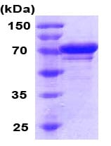 SDS-PAGE - GRP78 BiP protein (His tag) (ab79139)