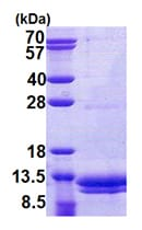 SDS-PAGE - VAMP8 protein (His tag) (ab79141)