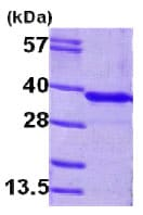 SDS-PAGE - GNMT protein (His tag) (ab79190)