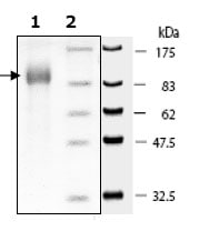 SDS-PAGE - CD26 protein (Active) (ab79659)