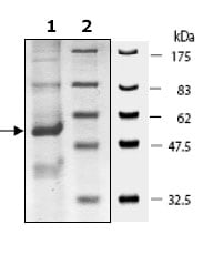 SDS-PAGE - DPP2 protein (Active) (ab79660)