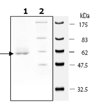 SDS-PAGE - SIRT4 protein (Tagged) (ab79949)