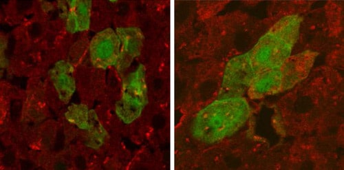 Immunohistochemistry (PFA perfusion fixed frozen sections) - Anti-Human Serum Albumin antibody (ab8940)