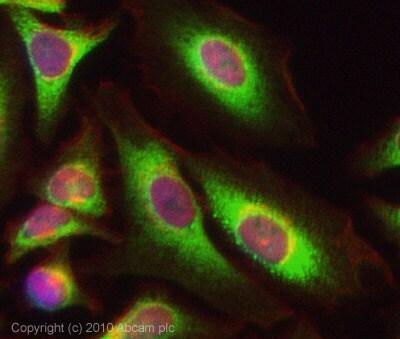 Immunocytochemistry/ Immunofluorescence - BCAR1 antibody (ab80016)