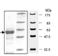 SDS-PAGE - KMT5C/SUV4-20h2 protein (Tagged) (ab80290)