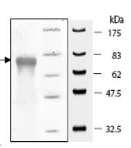 SDS-PAGE - Active human EHMT2/ G9A protein fragment (ab80323)