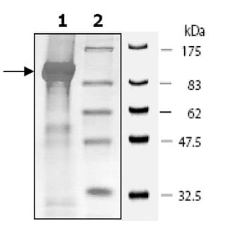 SDS-PAGE - PDE4D3 protein (Active) (ab80332)