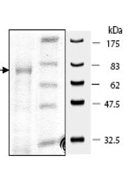 SDS-PAGE - FGFR2 protein (Active) (ab80368)