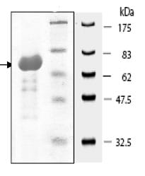 SDS-PAGE - MCK10 protein (Tagged) (ab80373)
