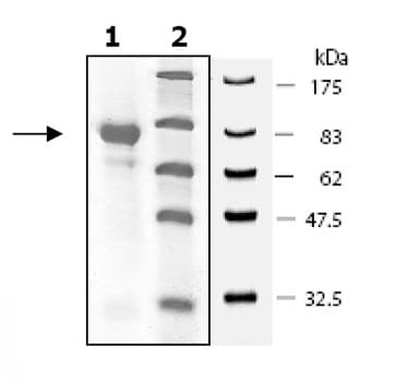 SDS-PAGE - Prolyl Endopeptidase protein (Active) (ab80376)