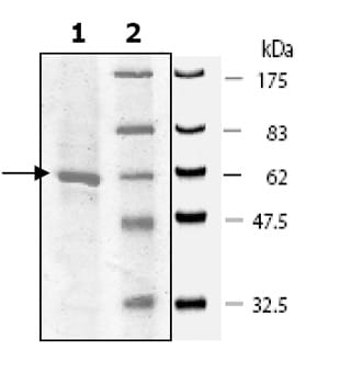 SDS-PAGE - SMYD3 protein (Active) (ab80377)