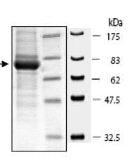 SDS-PAGE - cGKI protein (Active) (ab80413)