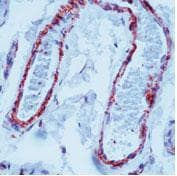 Immunohistochemistry (Formalin/PFA-fixed paraffin-embedded sections) - Anti-Filamin antibody [FLMN01] (ab80837)