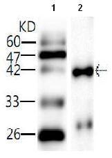 Western blot - E.coli O157:H7 Sakai rfbE antibody [27] (ab81131)