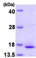 SDS-PAGE - TCEB2 protein (ab81767)