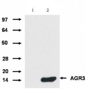 Western blot - AGR3 antibody [AGR3.1] (ab82400)