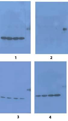 Western blot - alpha 2a Adrenergic Receptor peptide (ab82446)