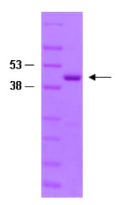 SDS-PAGE - Rac1 protein (Tagged) (ab82670)