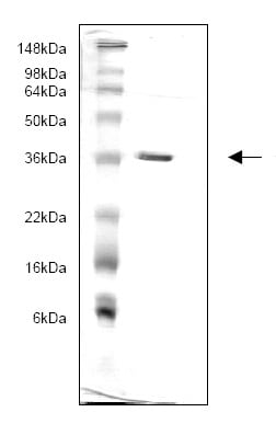 SDS-PAGE - 14-3-3 gamma protein (His tag) (ab82816)