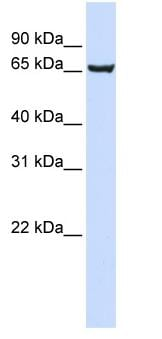 Western blot - SOX13 antibody (ab82894)