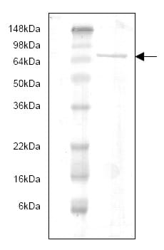 SDS-PAGE - MMP9 protein (His tag) (ab82955)
