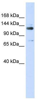 Western blot - TFII I antibody (ab83315)