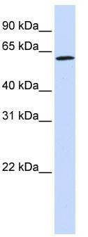 Western blot - ENOX1 antibody (ab83540)