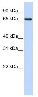 Western blot - DCAF13 antibody (ab83546)