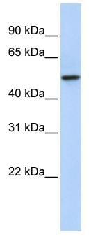 Western blot - PDZK1 antibody (ab83549)