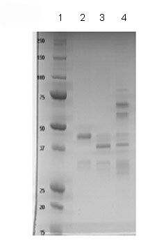 SDS-PAGE - Activin Receptor Type IA protein (Fc Chimera) (ab83922)