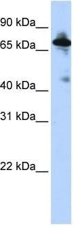 Western blot - SLC9A8 antibody (ab83937)