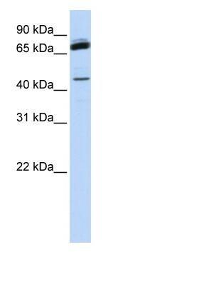 Western blot - NKRF antibody (ab83977)