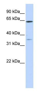Western blot - TRIM45 antibody (ab83983)