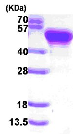 SDS-PAGE - Protein A protein (ab84187)