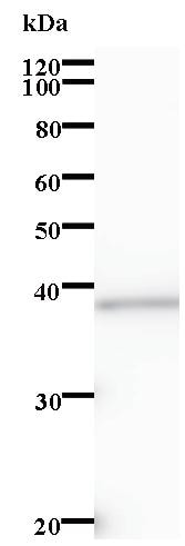 Western blot - ZNF96 antibody [3430C1a] (ab84884)