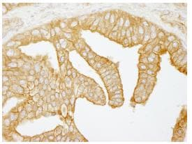 Immunohistochemistry (Formalin/PFA-fixed paraffin-embedded sections) - Anti-Filamin B antibody (ab84905)