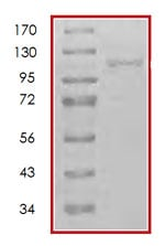 SDS-PAGE - Recombinant human NAK/TBK1  protein (ab85276)