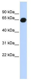 Western blot - B3GALNT2 antibody (ab85502)