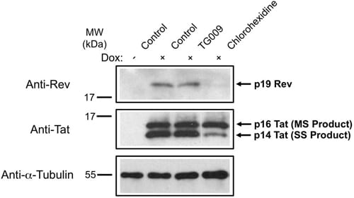 Western blot - Anti-HIV1 Rev antibody [Rev-6] (ab85529)