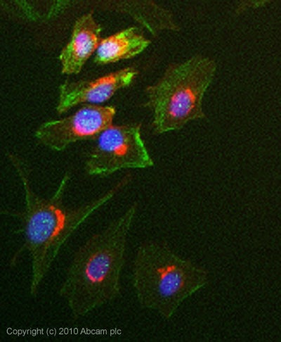Immunocytochemistry/ Immunofluorescence - pan-AKT antibody (ab85683)