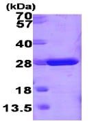 SDS-PAGE - Glutathione S Transferase mu protein (Mouse) (ab86775)