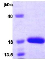 SDS-PAGE - SF20 protein (His tag) (ab86915)