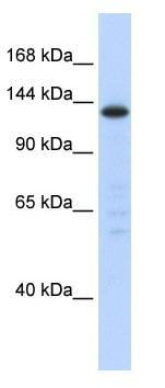 Western blot - SF3B3 antibody (ab86992)