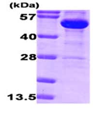 SDS-PAGE - Glucose 6 Phosphate Dehydrogenase protein (ab87414)
