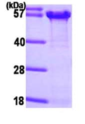SDS-PAGE - Osteopontin protein (His tag) (ab87460)