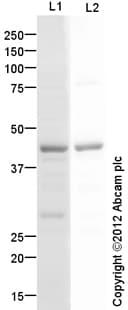 Western blot - Anti-MC5 Receptor antibody (ab87470)
