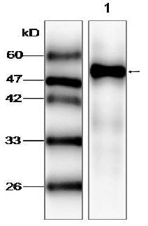 Western blot - AP2 gamma antibody [9] (ab87475)