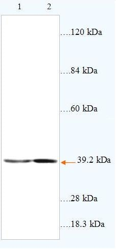 Western blot - ABHD6 antibody (ab87532)